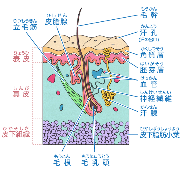 https://www.chugai-pharm.co.jp/ptn/medicine/karada/images/006/graph_